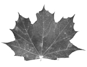 maple leaf nb